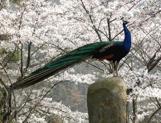 20060408amabikikannonkuzyakutosakura2107